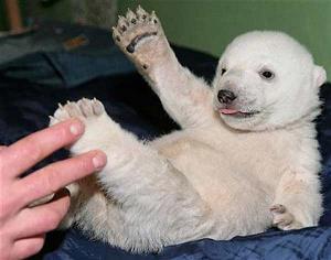 Oso polar llamado knut  va a ser sacrificado¨animal protegido¨