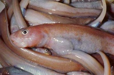 Descubierta una nueva especie de pez antártico