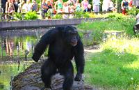 Un chimpancé armado hasta los dientes