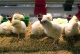 Descubren la capacidad innata de los pollos para realizar cálculos matemáticos
