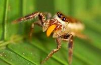Una araña vegetariana