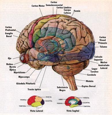 Los orígenes del cerebro musical