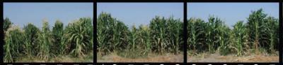 El ADN del maíz es más complejo que el de los humanos