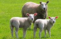 Demasiados eructos ovinos