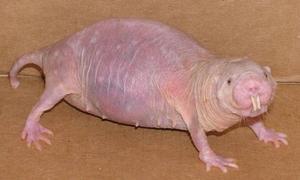 Un extraño tipo de rata «desnuda» es capaz de vivir casi sin oxígeno