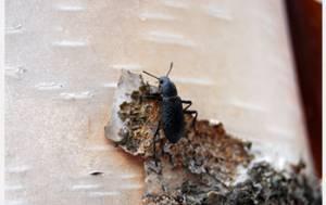 Nuevo Anticongelante Hallado en un Escarabajo de Alaska
