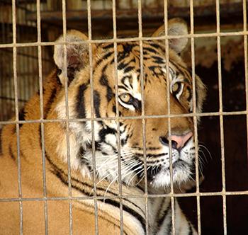 Cárcel de animales salvajes en una azotea en Bangkok