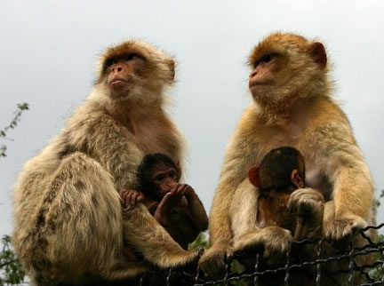 monas-berberia-amamantando